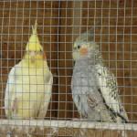 pc-150x150 dans perruches callopsittes