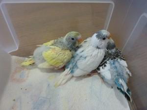 Les plumes poussent dans naissance des petits P1100142-300x225